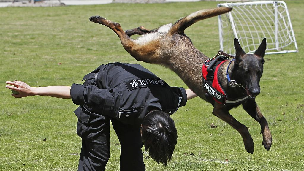 Sniffer dogs receive training in Shanghai - CGTN