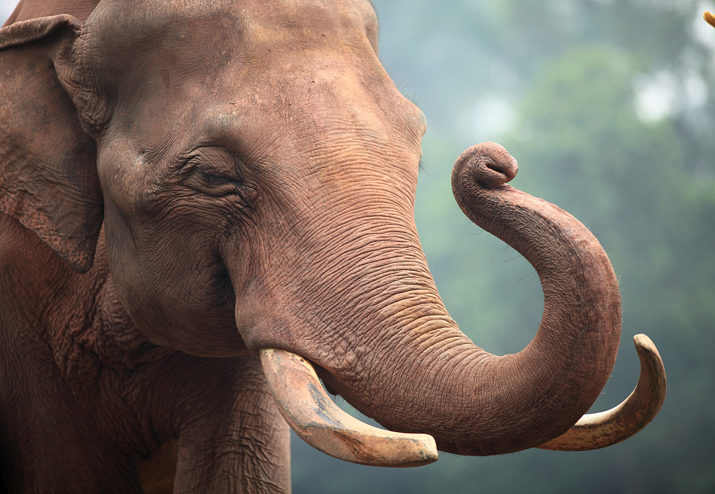 Wild Elephants Return After Decades To A Sw China Reserve