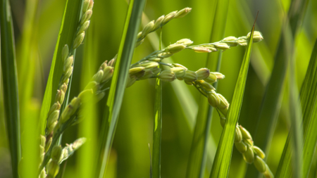 Italian scientists find weeds are good for crops not the reverse