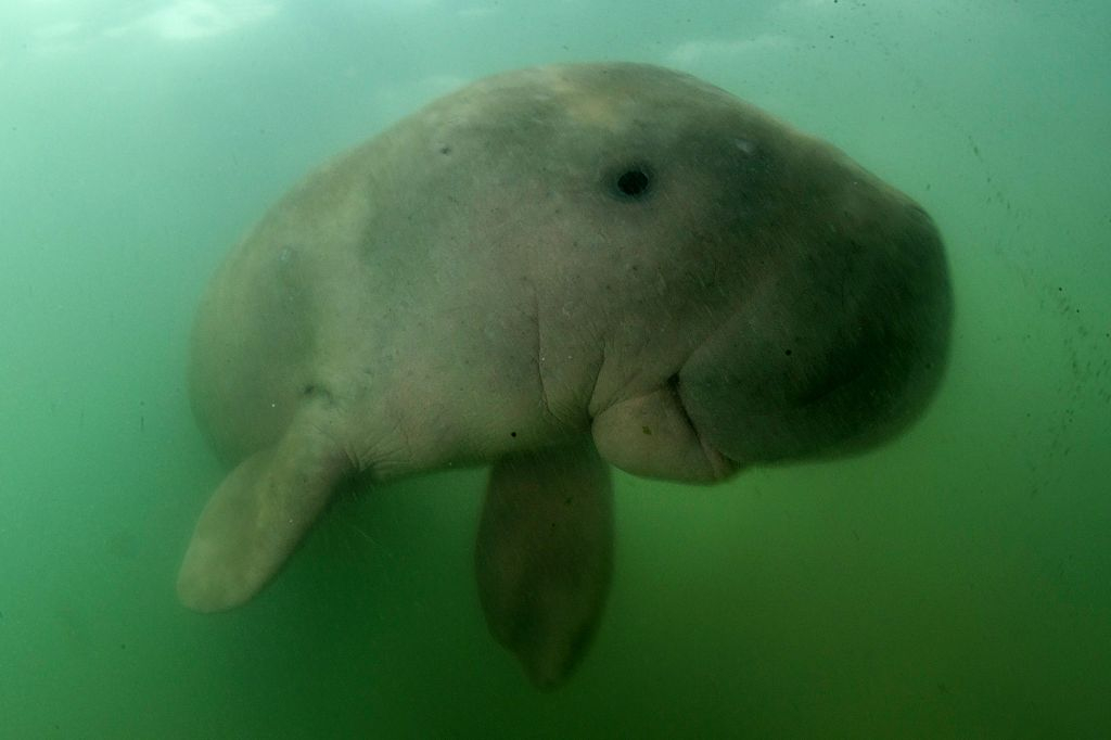 Thailand's orphaned baby dugong becomes conservation star ...  Baby