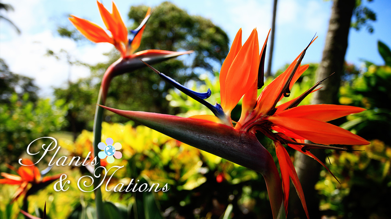 Bird Of Paradise The Plant With Dramatic Flowers Cgtn