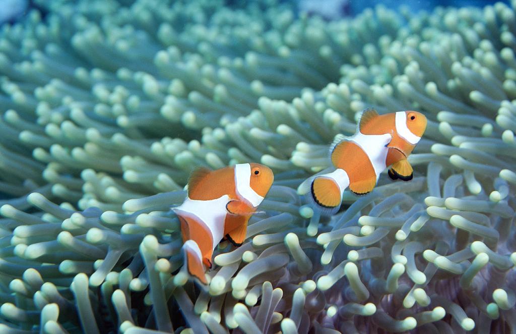 Light pollution puts 'Nemo' fish offspring at risk - CGTN