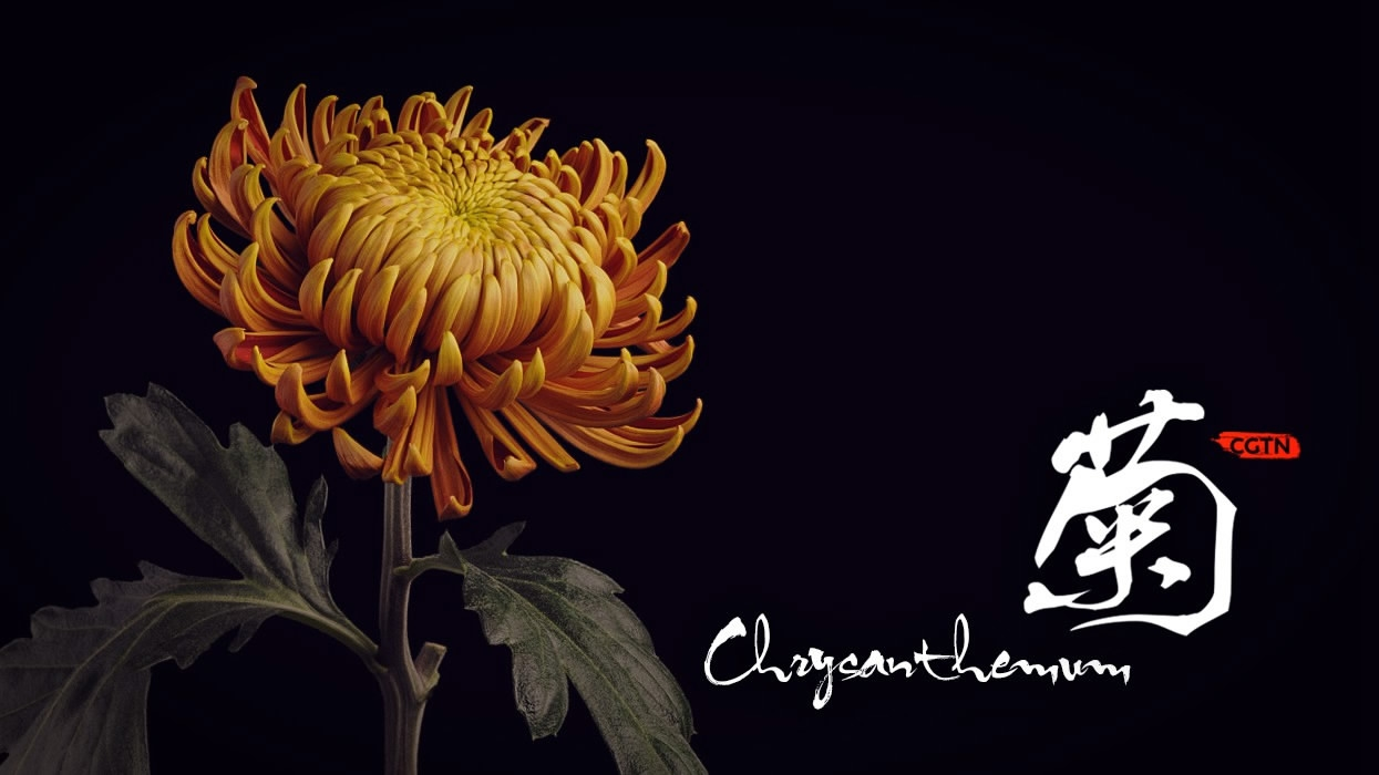Chrysanthemum The Symbol Of Vitality In Chinese Culture Cgtn