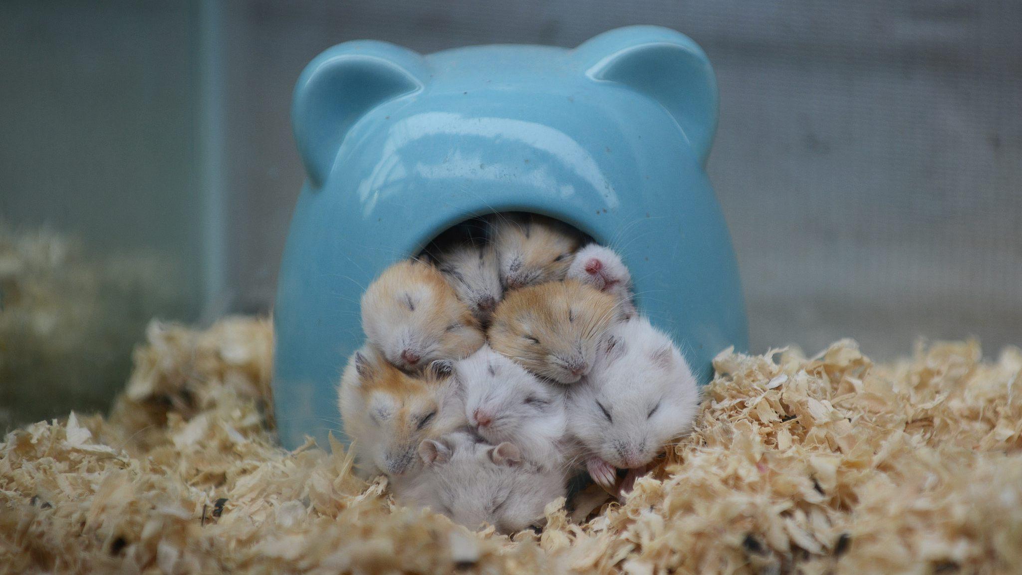 Фото хомяков спящих