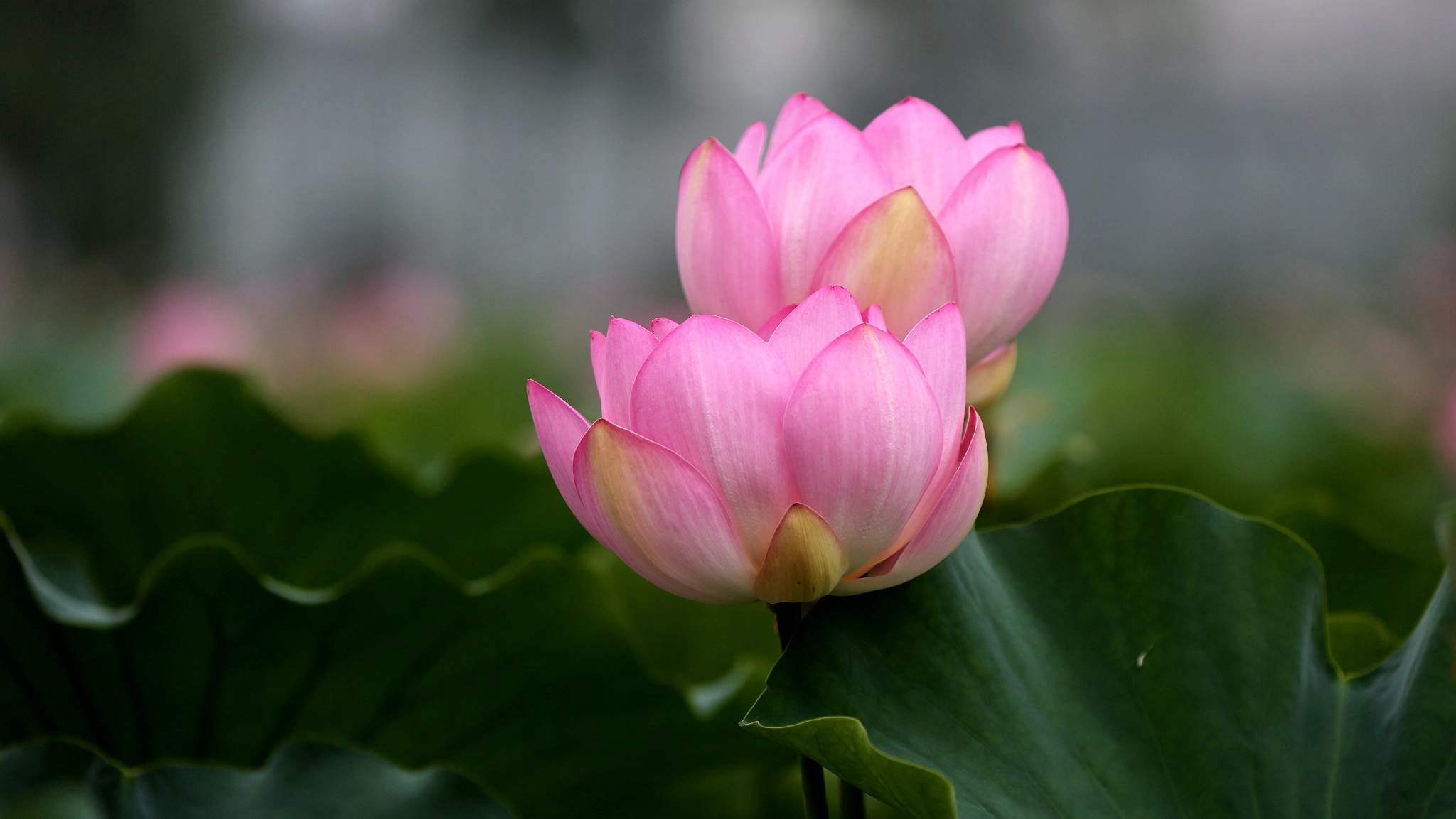 Thousands of lotus flowers bloom in eastern china cgtn the lotus flower is one of the symbolic floras representing summer in china chinese people love the plant and see it as a symbol of pureness because even izmirmasajfo