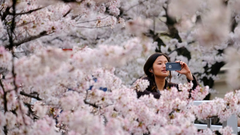 The Art And Science Of Japan S Cherry Blossom Forecast Cgtn