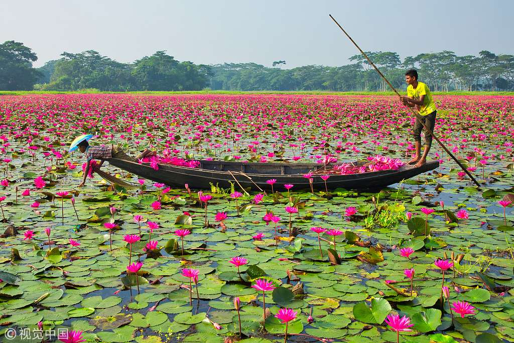 Picking water lilies in a Bangladeshi canal - CGTN