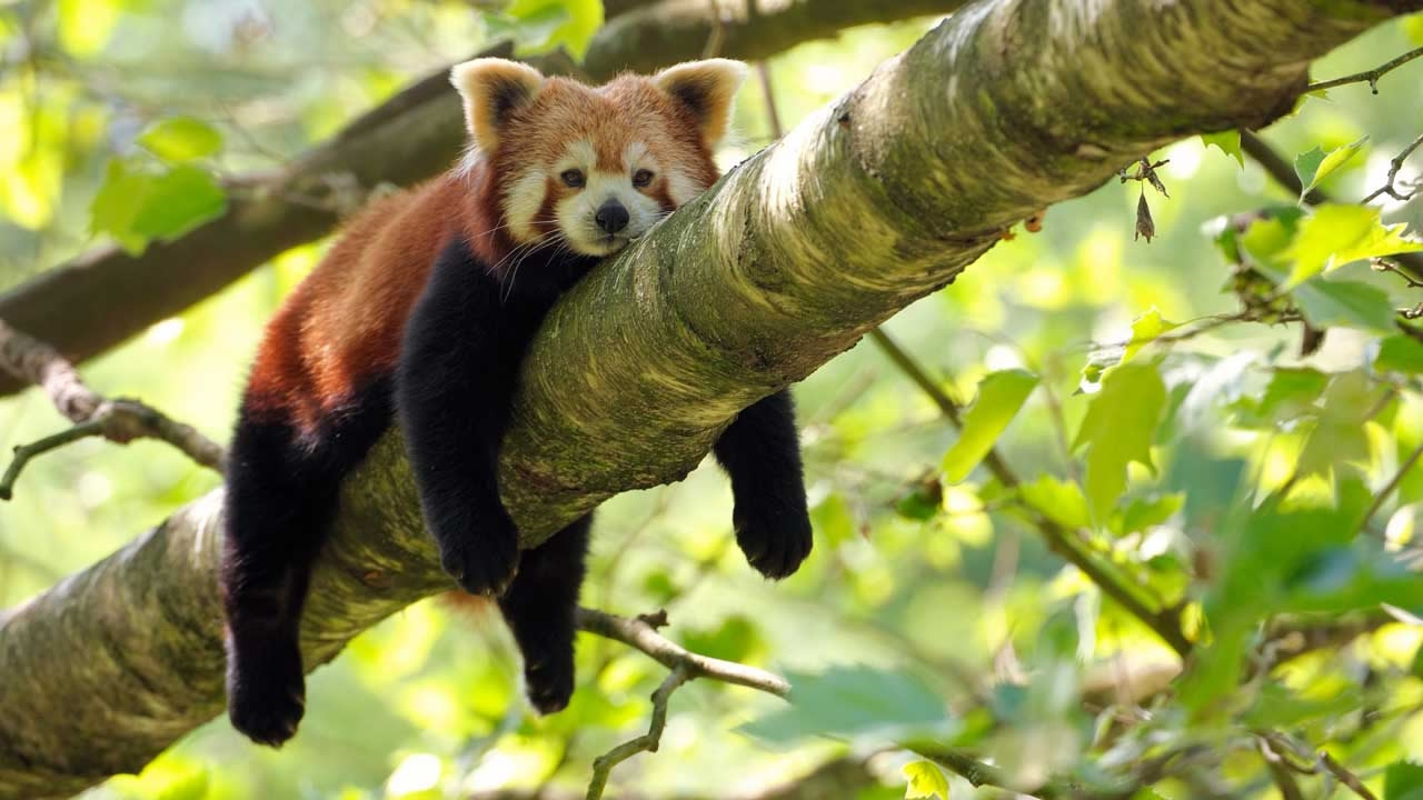 Image of: Ppt Jpg Cgtn Report Lowscale Demand For Red Panda Products Still Persists In