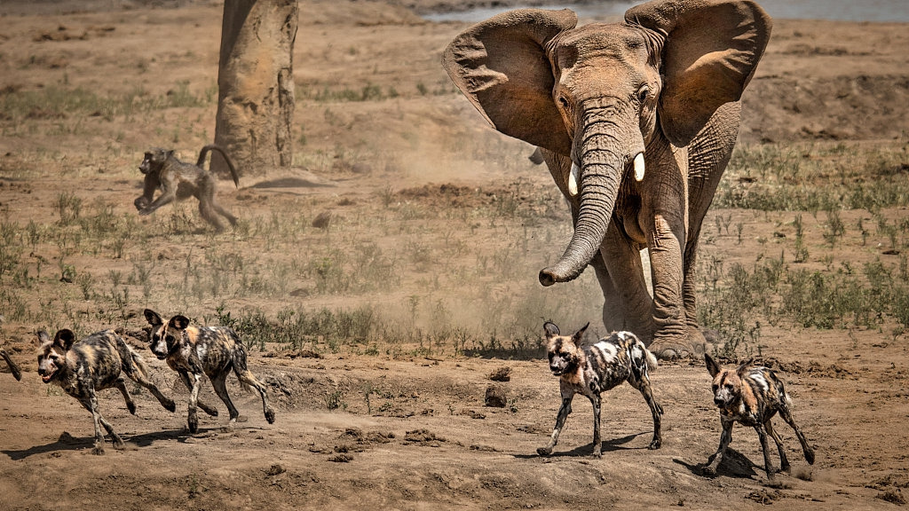 Botswana lifts ban on elephant hunting - CGTN