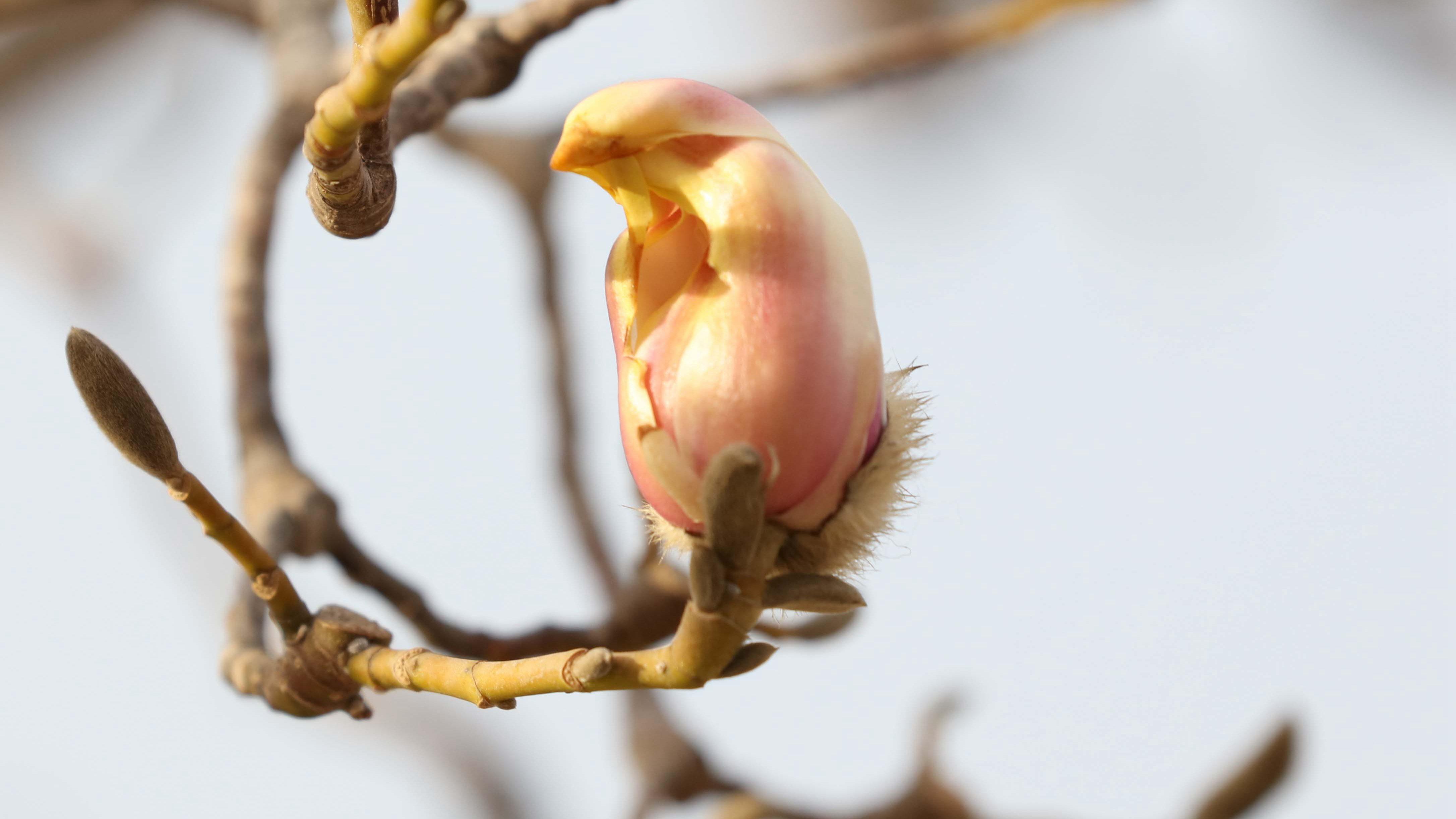 Meet Bird Shaped Magnolia Flowers Cgtn