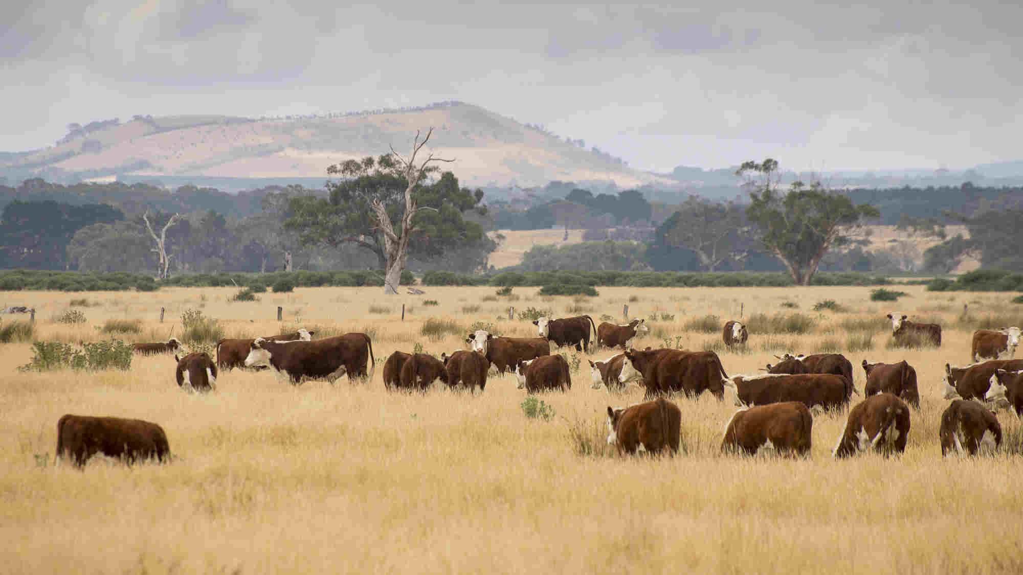 essay on cattle farming