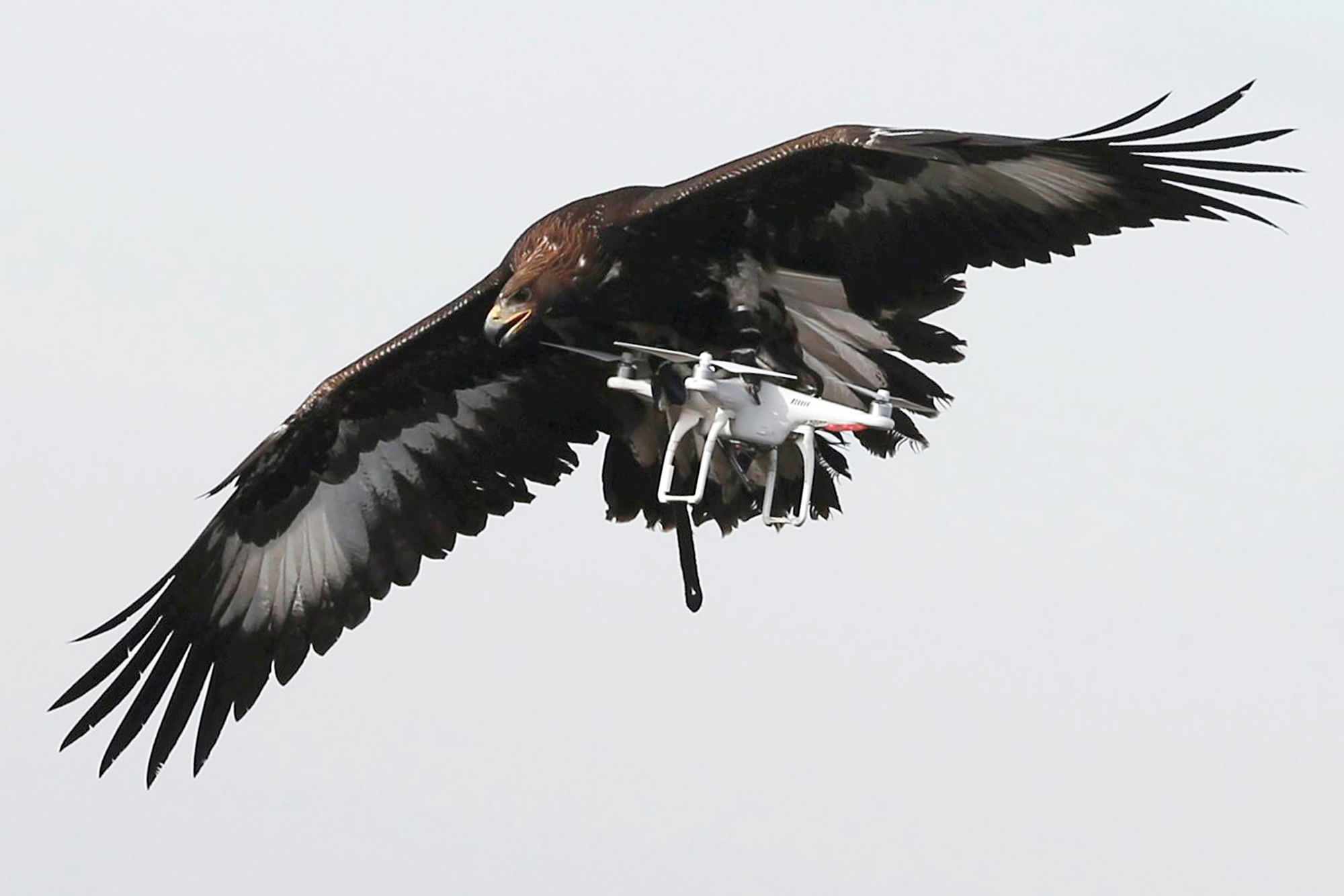 Eagle Vs Drone Bird Of Prey Attacks French Air Force Vehicle Cgtn