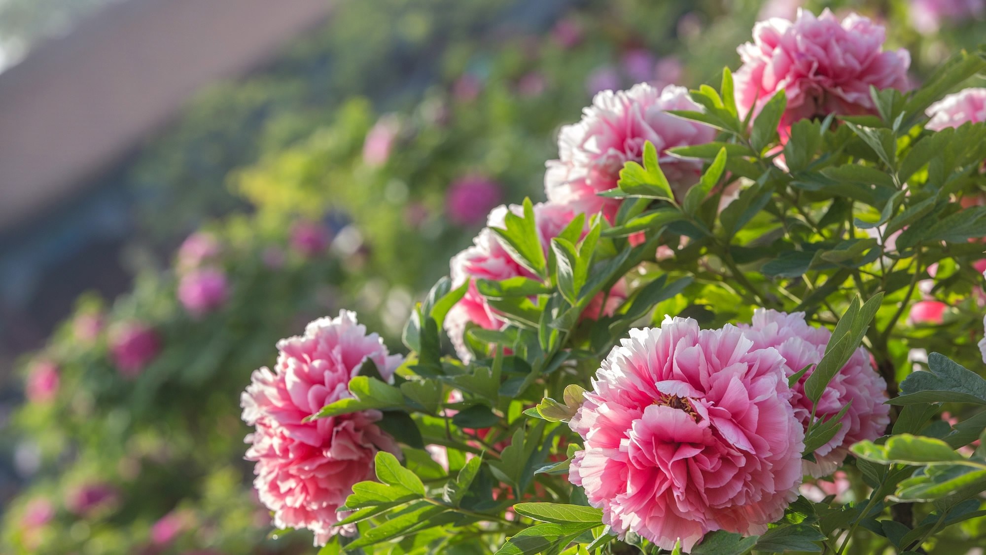 Peonies Chinas Former National Flower Bloom In Imperial Garden Cgtn