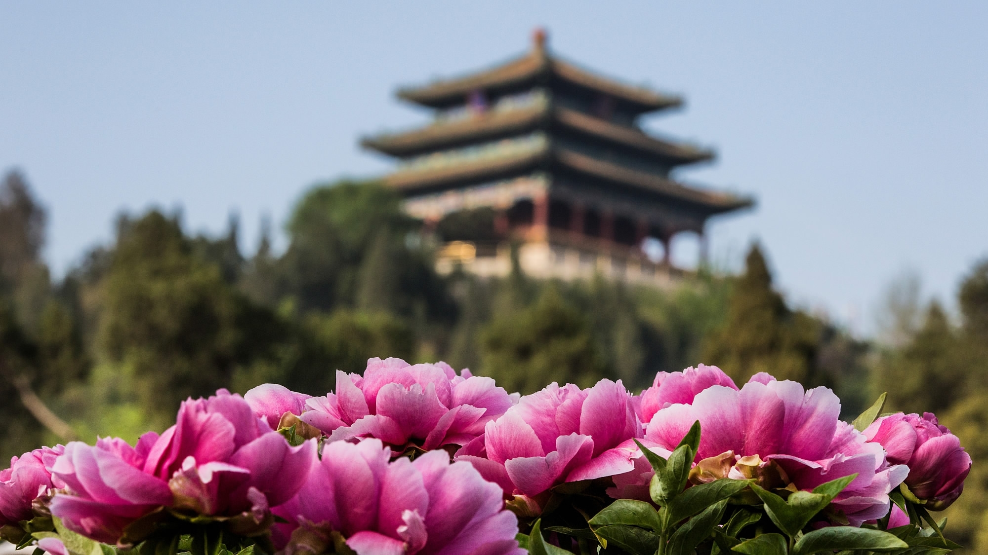 Peonies Chinas Former National Flower Bloom In Imperial Garden Cgtn