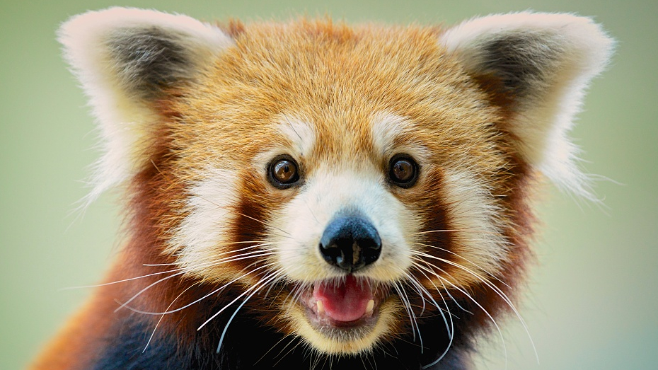 See The Difference Is Master Shifu A Red Panda Or A Raccoon Cgtn But seeing as to how his name is something of a tautonym (shifu means master in mandarin). master shifu a red panda or a raccoon