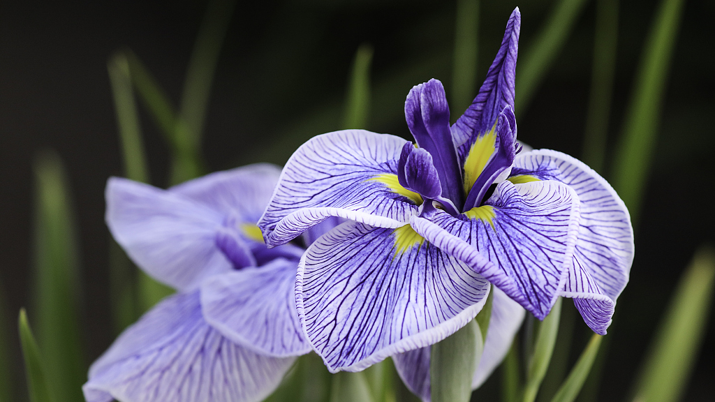 The myth of France's national flower: Lily or iris? - CGTN