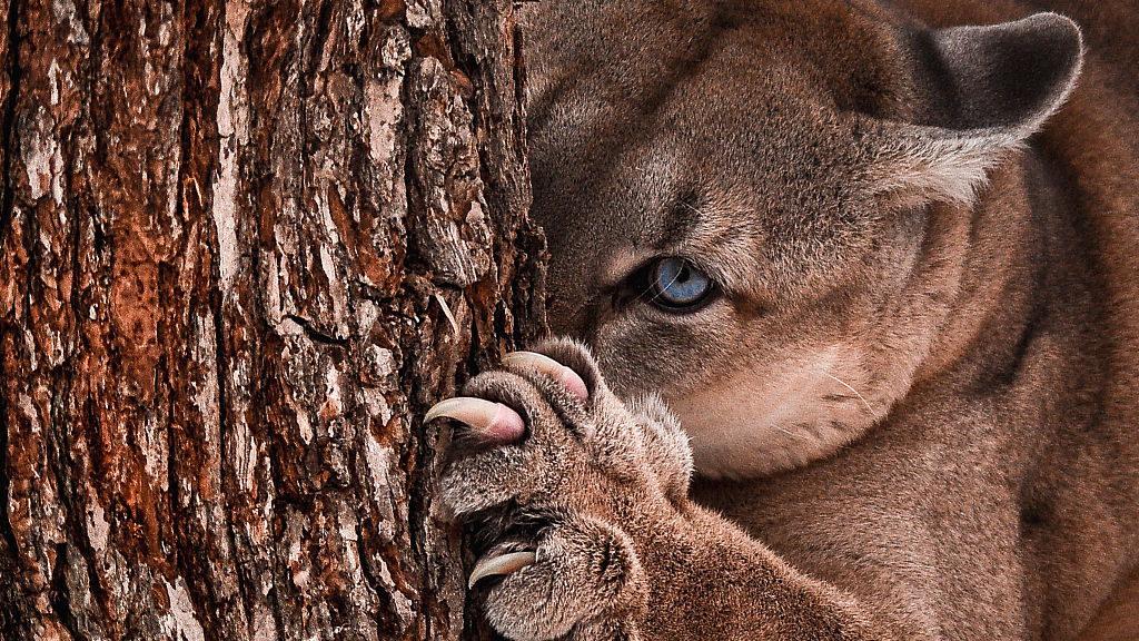 See the difference! Can you differentiate jaguars, cougars and ...