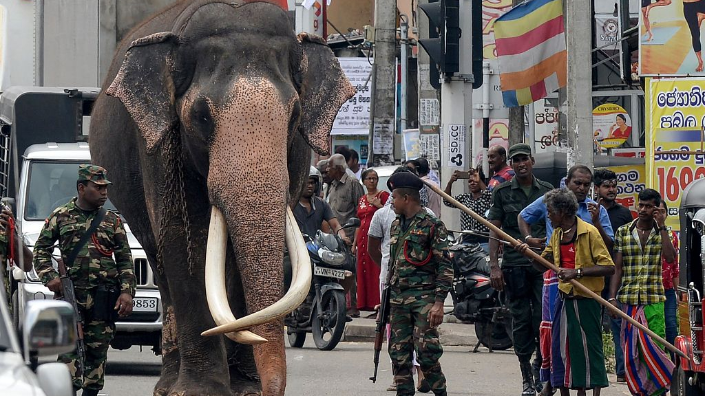 The Biggest Subspecies Of Asian Elephant Is Struggling To Survive Cgtn Milk feeding time at the elephant transit home. asian elephant is struggling to survive