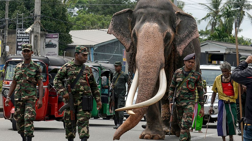 The Biggest Subspecies Of Asian Elephant Is Struggling To Survive Cgtn As herbivores, the sri lankan elephant mainly consumes grasses, leaves, shoots, barks, fruits, nuts, seeds and other vegetation. asian elephant is struggling to survive