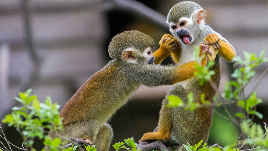 Monkey Mania: The most abundant monkey in the Amazon ...