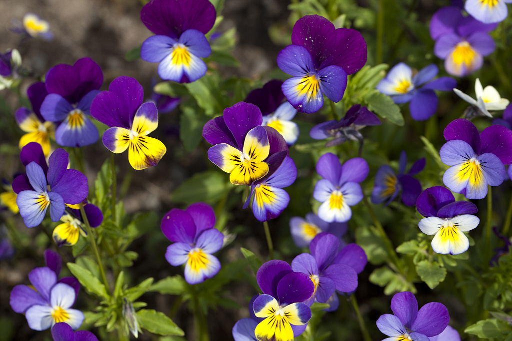 Pansy Colorful Flower That Has Faces On Petals Cgtn